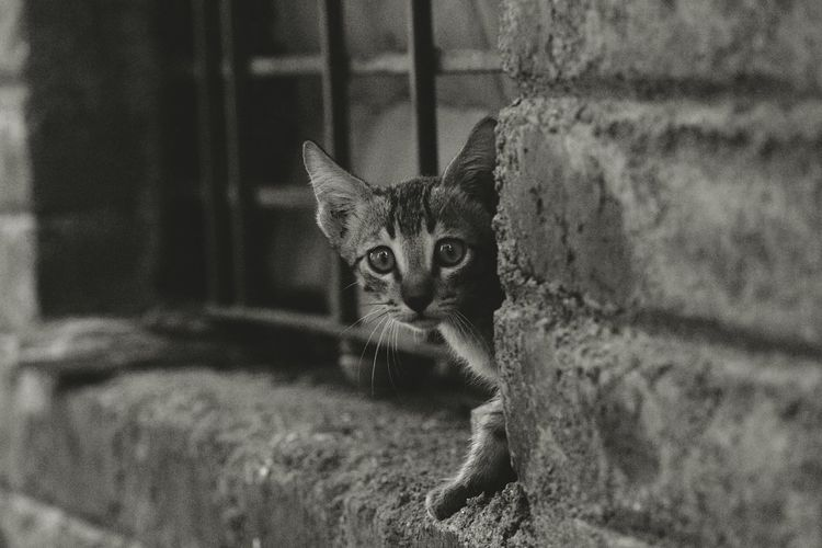 Domestic Cat Pets Domestic Animals Feline One Animal Animal Themes No People Looking At Camera Mammal Portrait Indoors  Day Close-up Black And White Friday