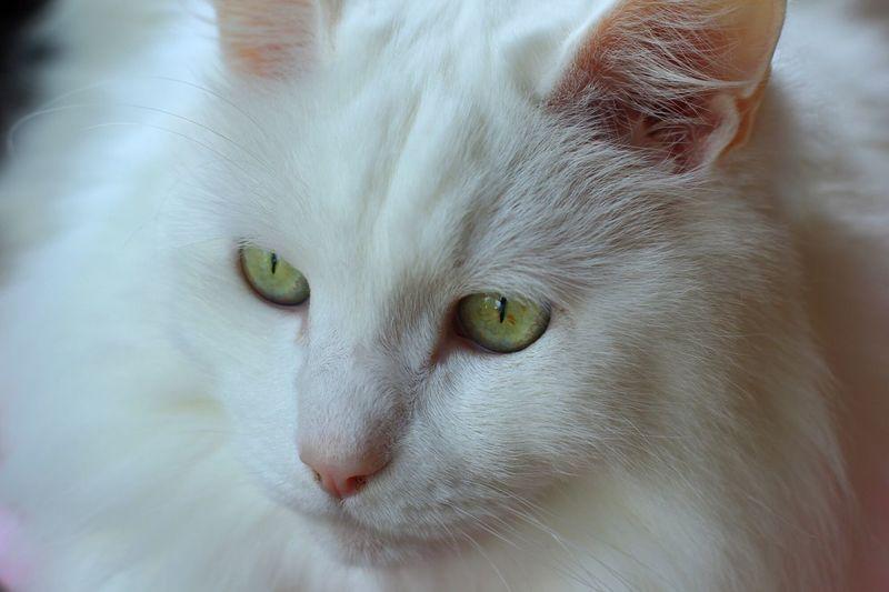 伽羅 Cat 50mm 1.4 50mmf1.4 My Family Afternoon White 伽羅