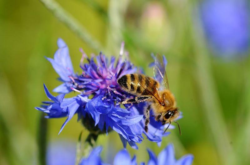Kornblume Biene