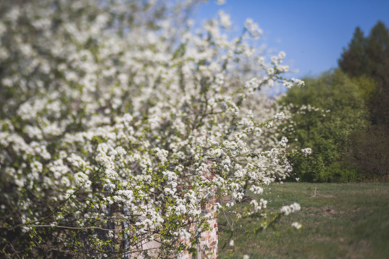 Cherry blossoms in field