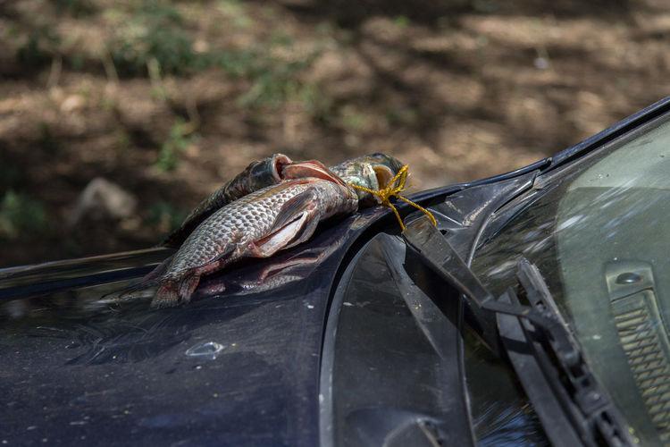 Alternative Fishtransport Be Practical Dead Fish Kenia Outdoor Smell Standard Procedure Tilapia Tilapia Zillii Transport Windshield Wipers