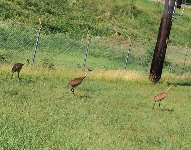 Sand cranes in