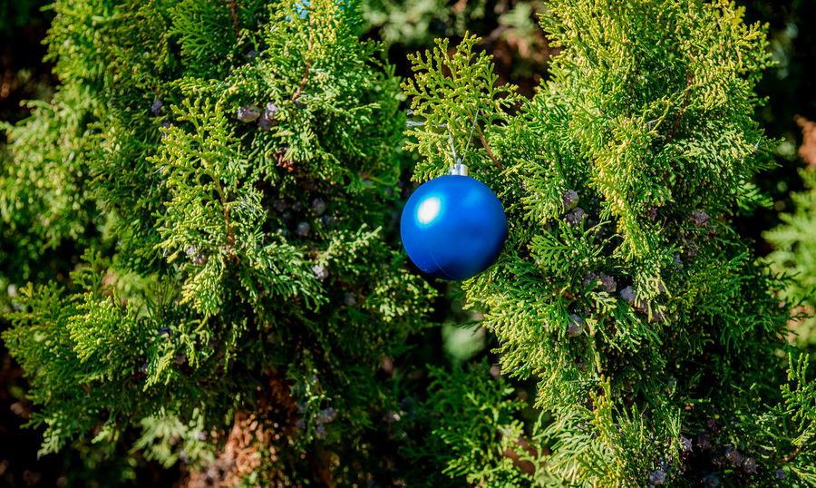 Blue ball hanging on the pine twig Blue Ball Christmas Christmas Eve Christmas Time Pine Sphere Tradition Ball Celebration Christmas Ball Christmas Decoration Christmas Tree Close-up Decorated Decoration Green Color Nature No People Nobody Outdoors Pine Tree Season  Sunny Day Symbol Tree
