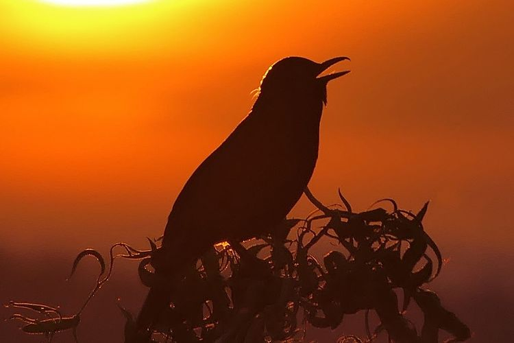 Silhouette bird perching on a orange sunset