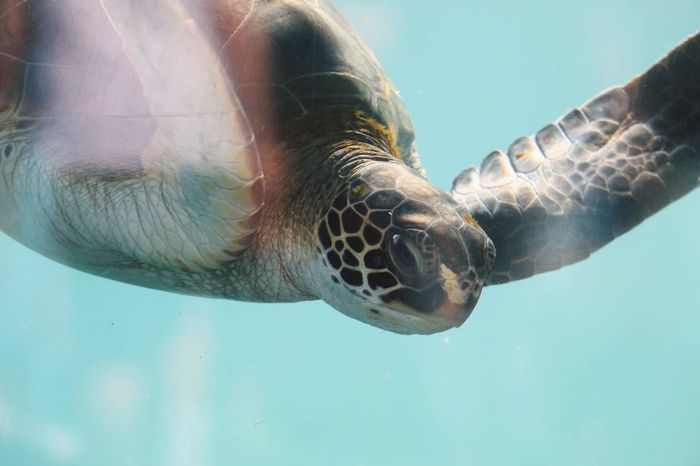 Outdoors Turtle Sea Sea Turtle Maui Hawaii Ocean Underwater Close-up Traveling Water Light Lighting Travel Reptile Wildlife Animals Pet Portraits Been There. Done That.
