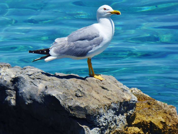 Sea Gull Water