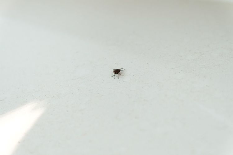 Small flies are