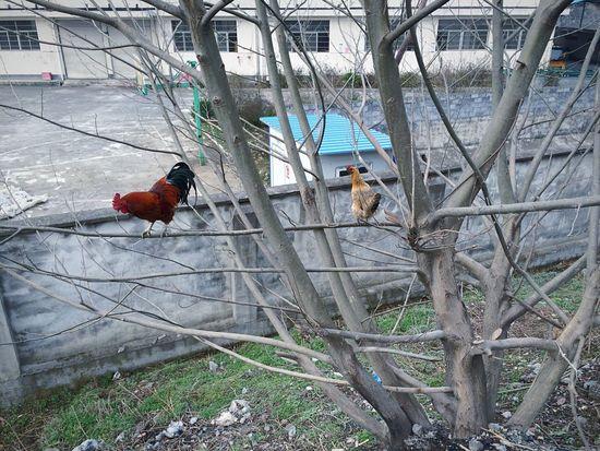两只会爬树的鸡…