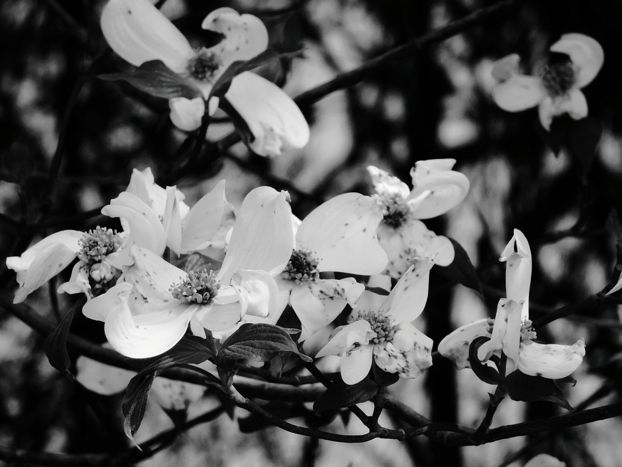 flower, petal, fragility, nature, beauty in nature, white color, growth, freshness, no people, outdoors, day, close-up, flower head, plant, blooming, tree
