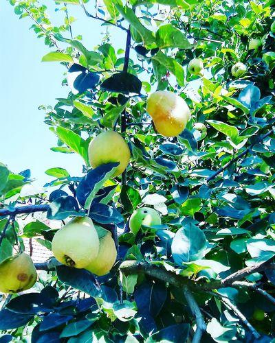 Quince Birsalmafa Fruit Vitamins Quincetree GreenZone Zöldövezet Sunshine ☀ Gardenlife