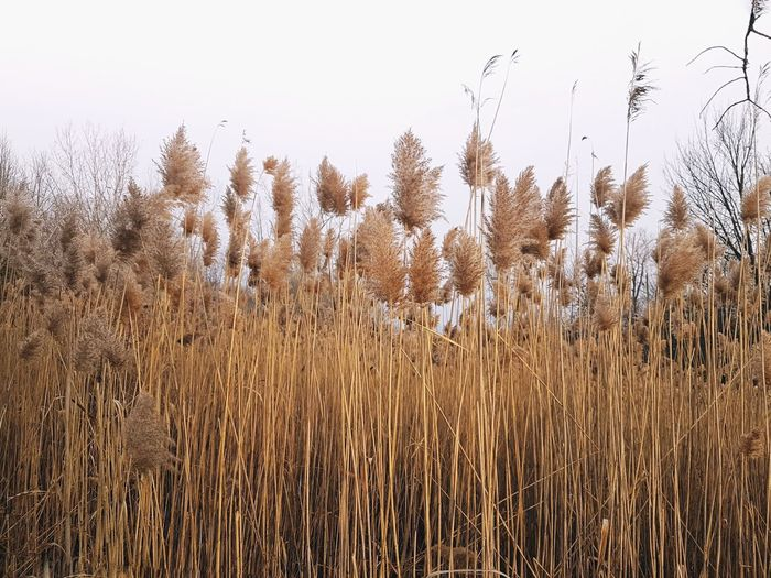 View of stalks in field against clear sky
