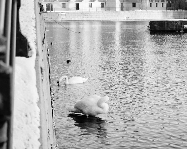 Swans Bird Photography Birds_collection Birdporn Stockholm EyeEm Nature Lover EyeEm Gallery Birdsofinstagram Birdstagram EyeEm Birds