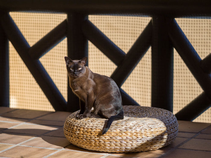 Animal Themes Brown Burmese Cat Day Domestic Animals Feline Looking At Camera No People One Animal Pets Shiny Fur Sitting