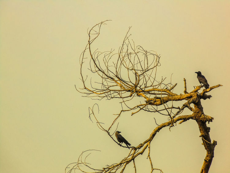 bird watching... Animal Themes Animals In The Wild Bare Tree Bird Branch Clear Sky Copy Space Dead Plant Delhi Dried Plant Dry Haryana Low Angle View Nature No People North India Outdoors Perching Silhouette Tadaa Community Tranquility Traveling Tree Tree Trunk Wildlife