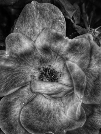 Flower petals Nature Nature Photography Blackandwhite Bnw Springtime Flowers,Plants & Garden Nature In Black And White Florida Macro Leonidas Myfotolife Flower Head Flower Full Frame Backgrounds Close-up Blooming Plant Life Single Flower Petal Pollen Bud In Bloom