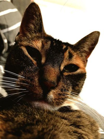 Pet Portraits One Animal Pets Animal Themes Domestic Animals Mammal Domestic Cat Close-up Indoors  No People Beauty In Nature Feline Cat Whisker Animal Head  Portrait Day