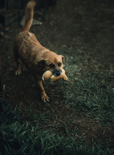 High angle portrait of dog eating bread on field