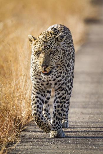 Full length of leopard walking on road