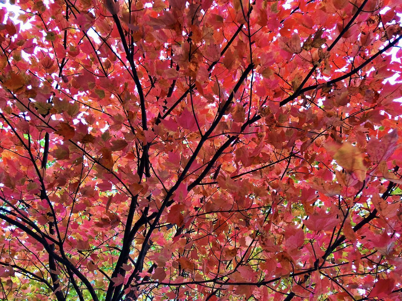 tree, branch, plant, beauty in nature, pink color, autumn, low angle view, flower, growth, no people, change, nature, flowering plant, day, fragility, backgrounds, blossom, outdoors, full frame, springtime, cherry tree, cherry blossom, maple leaf