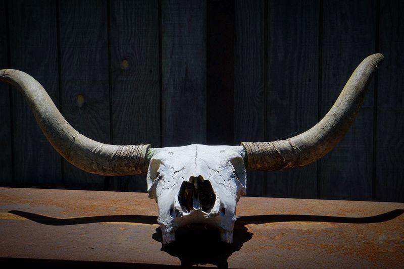 Close-up of animal skull