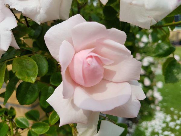 Rose Today ♥ Outside Photography Flower Head Flower Pink Color Petal Rose - Flower Leaf Close-up Wild Rose Flowering Plant