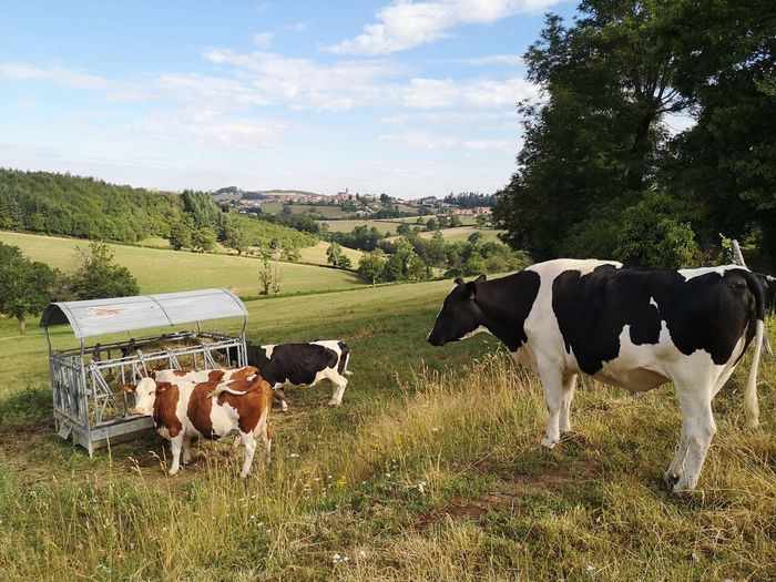 Countryside Country Landscape Tree Rural Scene Grazing Cow Drink Agriculture Milk Cattle Female Animal Farm Domestic Cattle Livestock Dairy Farm Livestock Tag Farm Animal Animal Pen Herbivorous Paddock Group Of Animals Domesticated Animal Tag Ranch Bull - Animal Herd