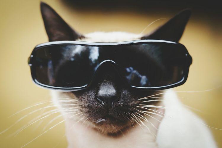Portrait Of Siamese Cat With Sunglasses