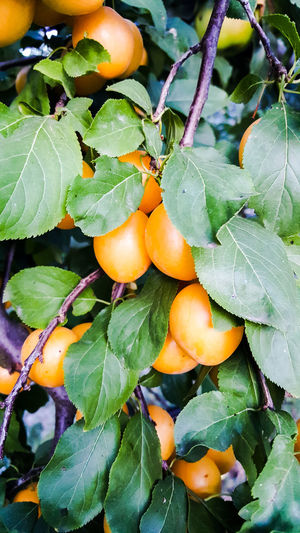 plums Yellow Orchard Fall Ripe Plum Vitamin C Vegetarian Food Plums On The Tree Plums Fall Agriculture Fruit Leaf Tree Close-up Green Color Plant Food And Drink Fruit Tree