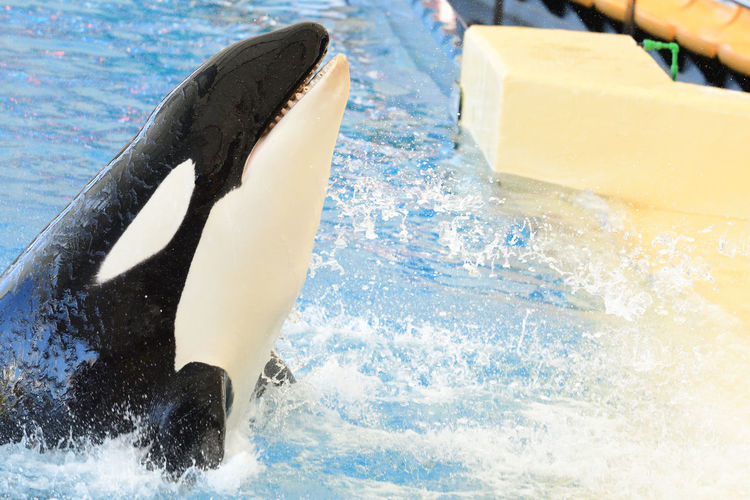 Close-up of a killer whale performing in a whale show