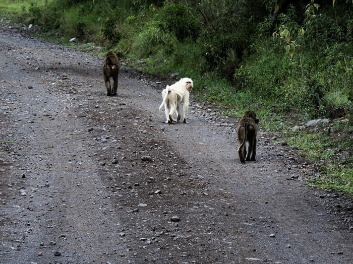 Arusha National Park Albino Albino Baboon Animal Themes Animals In The Wild Baboon Baboons Day Dog Domestic Animals Friendship Full Length Mammal Monkey Nature No People Outdoors Pets Togetherness Tree Walking