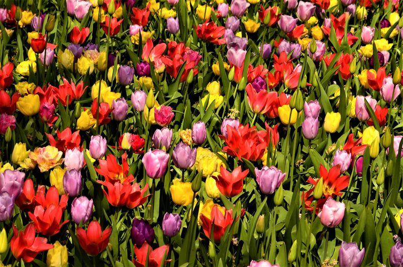 Full frame shot of purple tulips