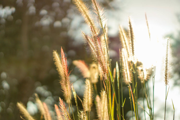 Agriculture Beauty In Nature Cereal Plant Close-up Day Field Freshness Growth Nature No People Outdoors Plant Rural Scene Sky Wheat