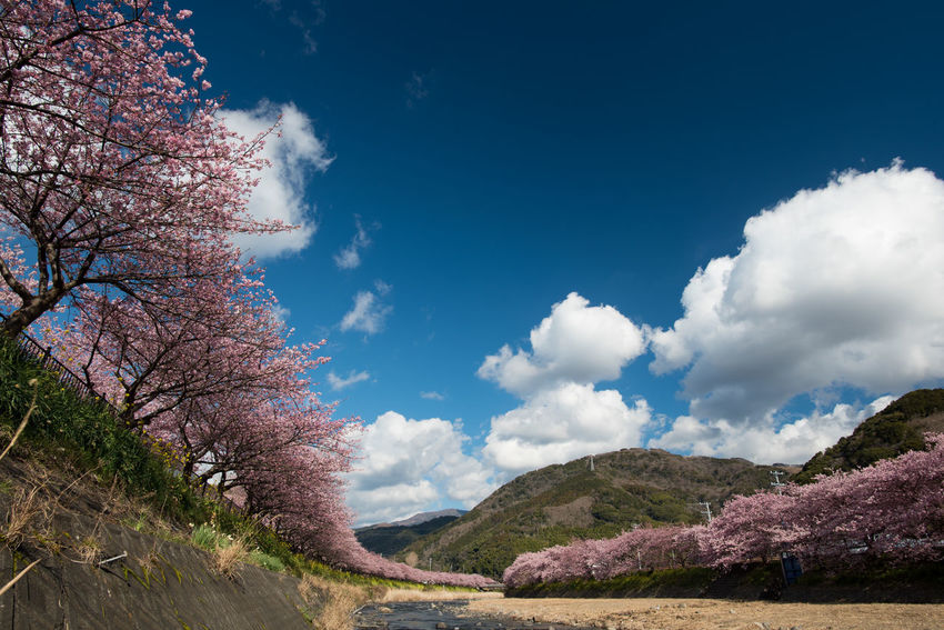 Cherry Blossoms Japan Kawazu-zakura Shizuoka,japan Spring Has Arrived 伊豆 日本 河津桜 静岡県
