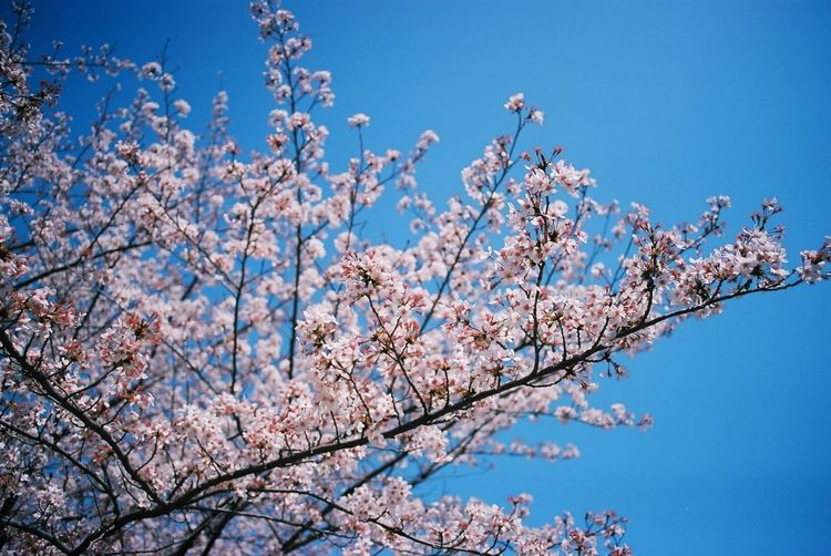 Sakura Film Photography Low Angle View Plant Sky Blue Beauty In Nature Branch Tree Nature Clear Sky Cherry Blossom Flower Springtime First Eyeem Photo