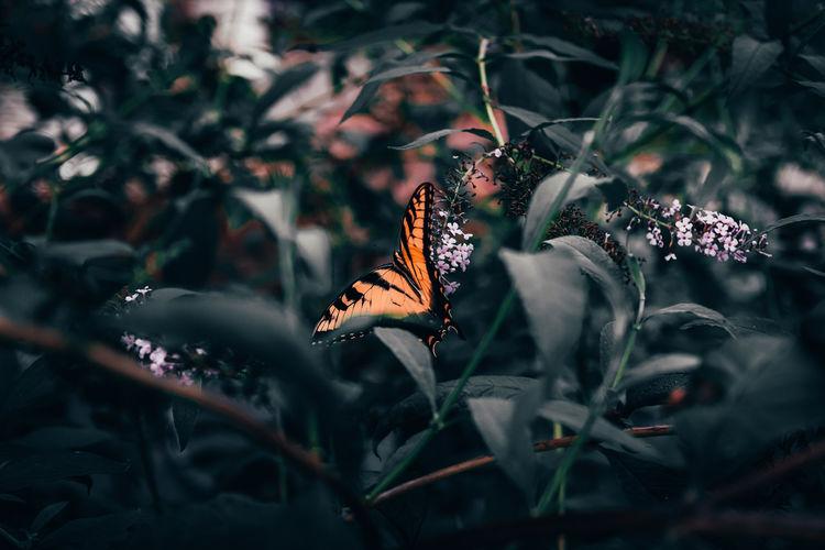Butterfly in a butterfly bush