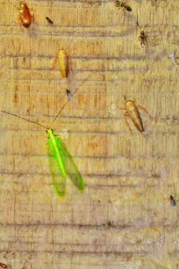 Bugs Bugs On Wall Bugs Life Different Kinds Of Bugs Insects  Insect Photography Green Fly June Bug Background Night Photography Bugs At Night Night Lights Varity Macro Macro Insects Macro Photography Macro_collection Micro Micro Nature Macro Nature Wooden Wall Old Wood Rough Texture Textures And Surfaces Critters