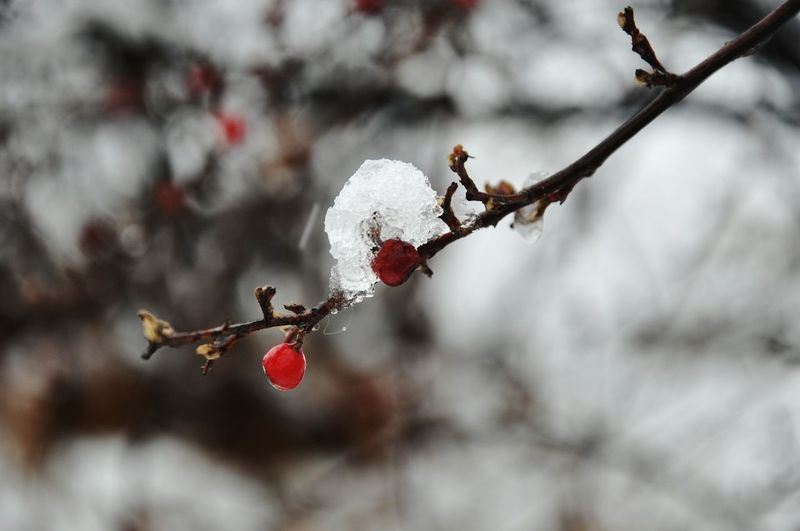 Red Berry Thorn