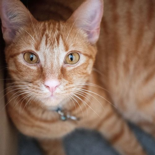 Ginger cat Cats Cats Of EyeEm Ginger Cat EyeEm Selects One Animal Mammal Portrait Looking At Camera Domestic Cat Whisker Animal Eye High Angle View Pets