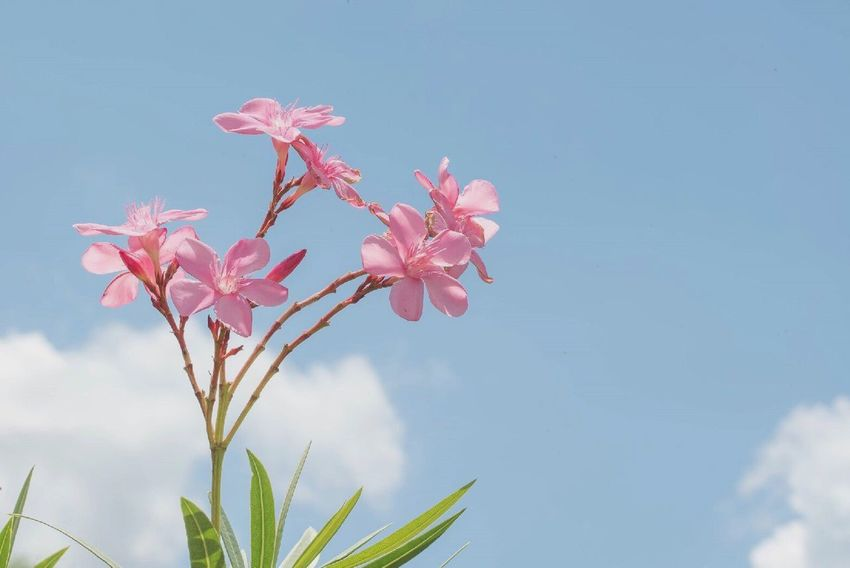 Flower Pink Flower Sky And Clouds Plant Focus On Foreground Day