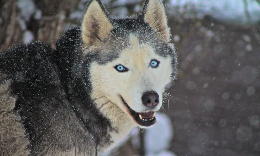 Siberian Husky Cold Temperature Dog Domestic Animals Looking At Camera Mammal No People One Animal Outdoors Pets Snow Winter