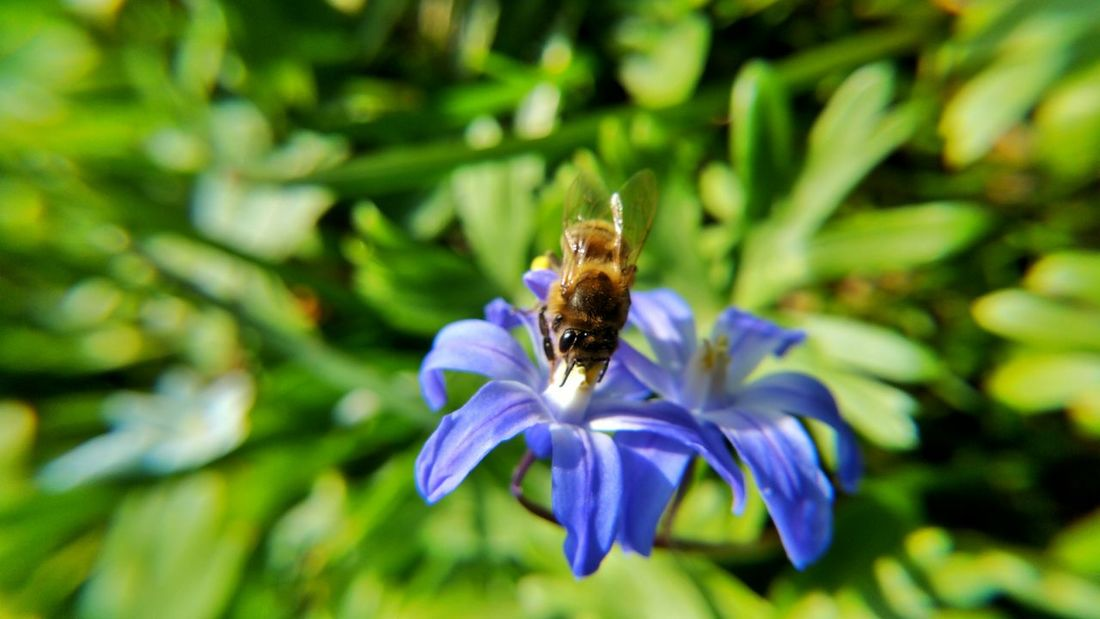 Animal Themes Beauty In Nature Bee Biene Close-up Dortmund Flower Flower Head Focus On Foreground Fragility Freshness Growth Insect Nature Outdoors Petal Plant Pollen Pollination Purple Rombergpark Scilla Selective Focus Skilla Wildlife