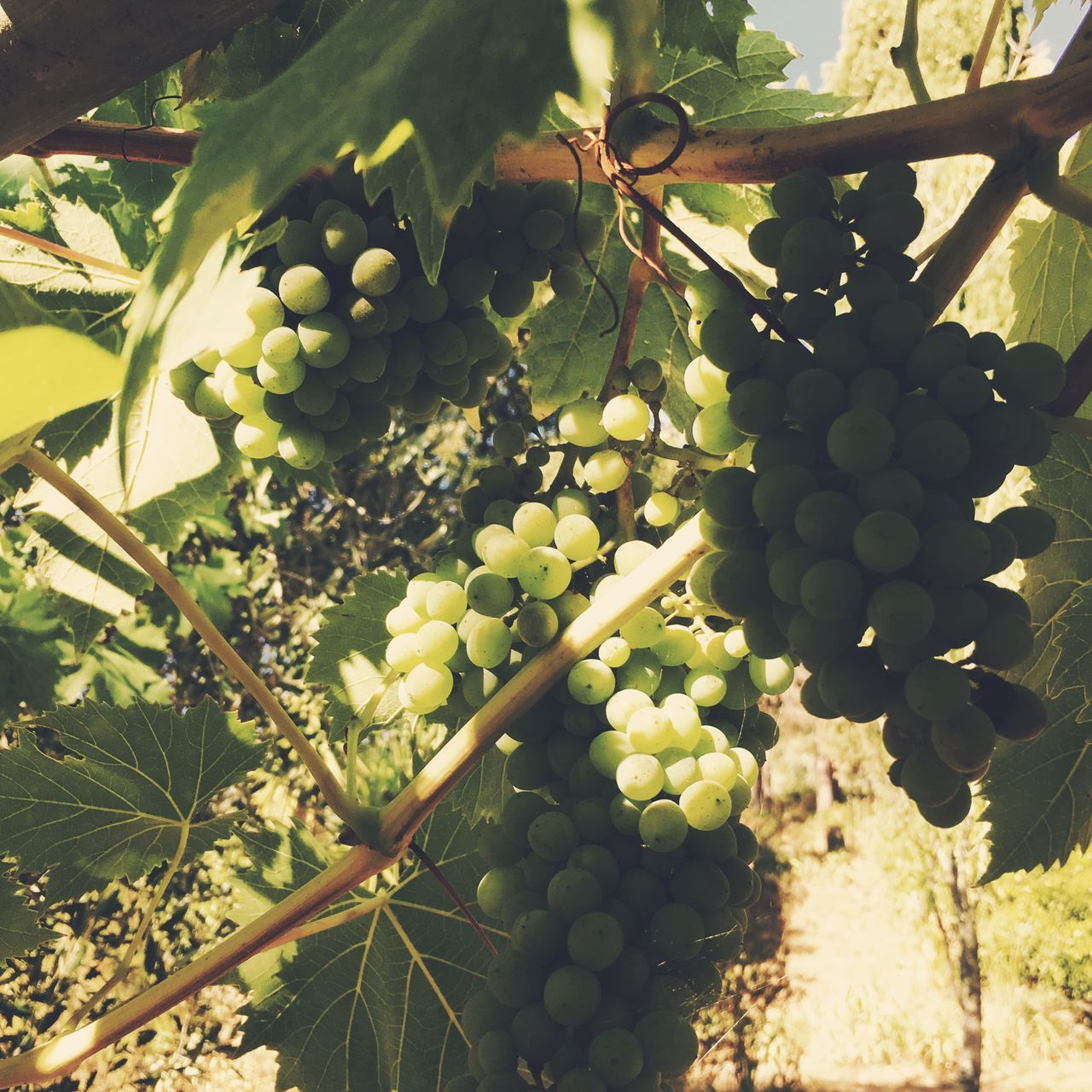 Close-Up Of Fresh Grapes Growing In Vineyard