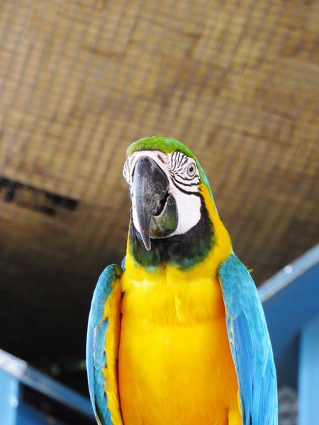 Bird One Animal Parrot Animals In The Wild Animal Themes Gold And Blue Macaw Focus On Foreground Macaw Animal Wildlife No People Close-up Perching Day Beak Outdoors Nature