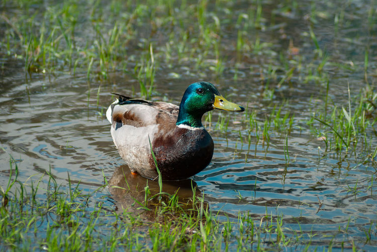Bird Water Animals In The Wild Animal Themes Animal Wildlife Vertebrate Animal Lake Duck One Animal Poultry Mallard Duck Swimming Nature No People Male Animal Day Water Bird Plant Mandarin Duck Floating On Water