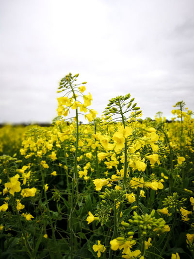 Canola flowers in the field. Traveling Nature Sky Day Outdoors Yellow Farm Springtime Australia Plant Land Agriculture Growth Fragility Close-up Western Australia Beauty In Nature Crop  No People Vulnerability  Travel Destinations Rural Scene Australia & Travel Oilseed Rape Farmfield Flower Flowering Plant Field Freshness Vulnerability  Landscape Crop  Flower Head Mustard