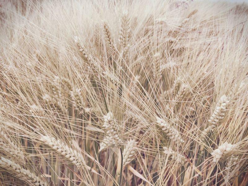 Cornfield Field Barley Corns Grain Barley Barley Field Summer Crop  Food Cereal