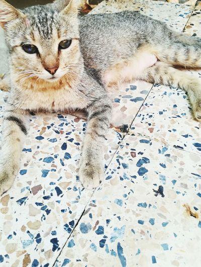 Totti Leopard