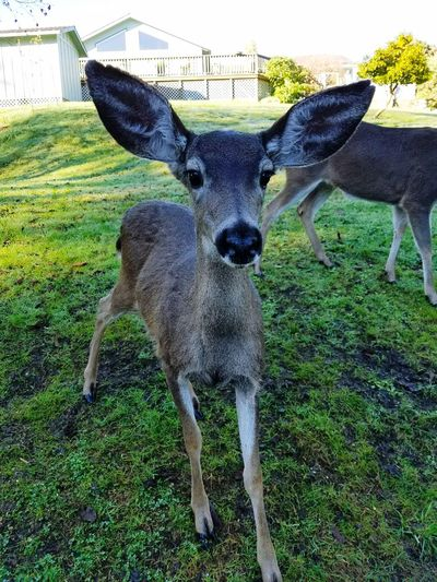 Animal Themes Mammal Domestic Animals Baby Deer Does Baby Doe's Deers Deer