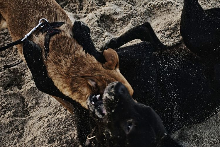 Dogs fighting on sand