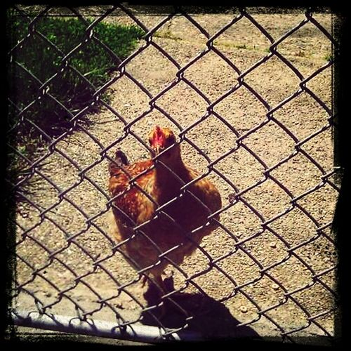 Check This Out rooster relaxing in The Bronx. think he's gonna shake a tail feather!♬♬♬